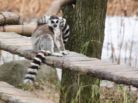 j2010-t-ueno-ringtailed-lemur.JPG